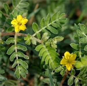 Tribulus Terrestris - rastlina pre rast svalovej hmoty