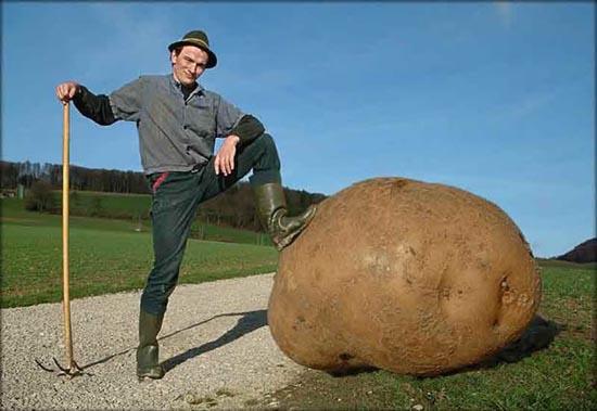 Velký zemiak